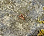 harvestman with mites<br /> Mitopus morio