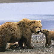 Alaskan Brown Bear, (Ursus middendorffi) Mother with two young cubs, one kissing her, Katmai National Park, Alaska.