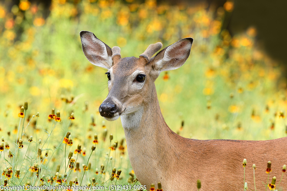 White-tailed buck in wildflowers close-up portrait