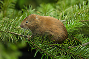 A female red tree vole (Arborimus longicaudus) among Douglas fir needles. Red tree voles are rarely seen. They are nocturnal and live in Douglas fir tree tops and almost never come to the forest floor.  They are one of the few animals that can persist on a diet of conifer needles which is their principle food.  As a defense mechanism, conifer trees have resin ducts in their needles that contain chemical compounds (terpenoids) that make them unpalatable to animals.  Tree voles, however, are able to strip away these resin ducts and eat the remaining portion of the conifer needle.