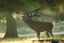 © Licensed to London News Pictures. 26/09/2015. City, UK. A  stag Deer calling out at sunrise on a misty cold Autumn Morning in Richmond Park, London. Photo credit : Ian Schofield/LNP