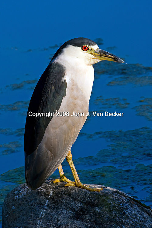 Black-Crowned Night-Heron standing on a rock at the side of a pond