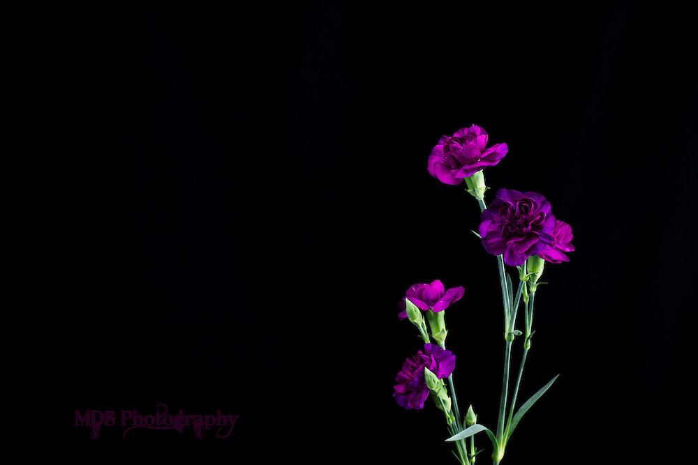 Purple Carnation flowers