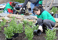 Jennifer Kuhn of Levittown, Pennsylvania sets a plant in place at Three Arches as part of the 14th annual Comcast Cares Day Saturday April 25, 2015 Falls Township, Pennsylvania. (Photo by William Thomas Cain/Cain Images)
