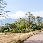 Part of one of the few patches of bush on the floor of the Ngorongoro Crater in the Ngorongoro Conservation Area, part of Tanzania's northern circuit of national parks and nature preserves.