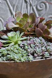 Sempervivum - houseleeks - in a shallow bronze container