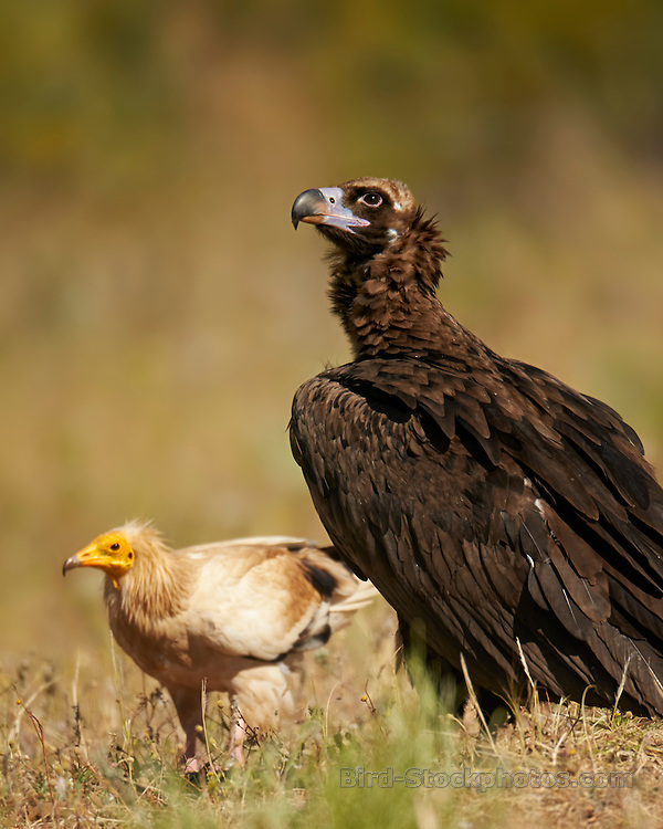 Cinereous Vulture, (Black Vulture), Aegypius monachus, and, Egyptian Vulture, Neophron pernocterus, May, Extremadura, Spain, by Ignacio Yúfera