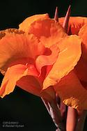 Flamboyant, orange iris flower at Tower Grove Park in St. Louis, Missouri.