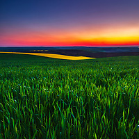 Fields of wheat in springtime at dusk