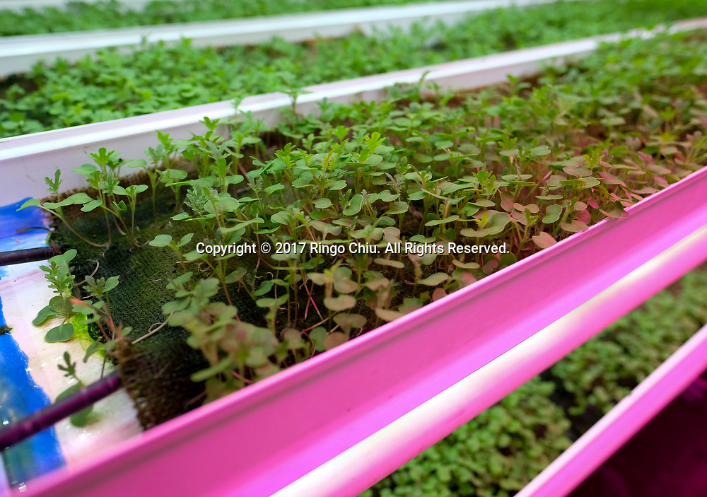 The Local Roots, a company designs, builds and operates indoor growing centers that are made from shipping containers.  (Photo by Ringo Chiu)<br /> <br /> Usage Notes: This content is intended for editorial use only. For other uses, additional clearances may be required.