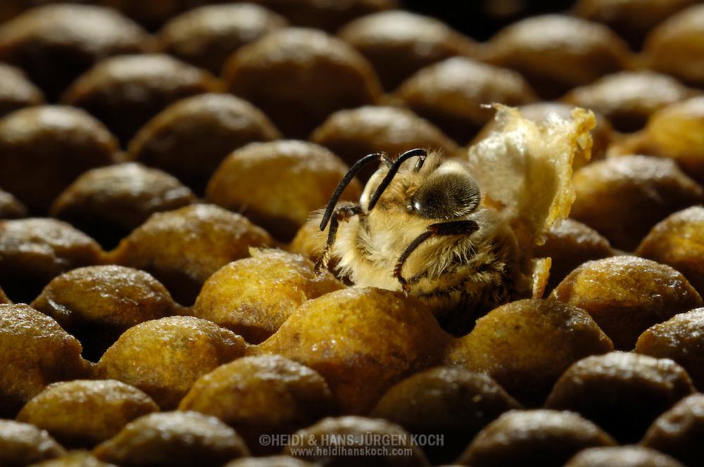 DEU, Deutschland: Biene, Honigbiene (Apis mellifera), Drohne (männliche Biene) schlüpft aus ihrer Brutzelle, Deckel der Zelle nach hinten geklappt, umgeben von gedeckelten Brutzellen, aus denen weitere Drohnen schlüpfen werden, Bienenstation an der Bayerischen Julius-Maximilians-Universität Würzburg | DEU, Germany: Bee, Honey-bee (Apis mellifera), drone (male) hatching out of it's brood cell, the lid out of wax is opened, around the hatching bee all cells are still closed and covered with wax lids, Beestation at the Bavarian Julius-Maximilians-University Würzburg