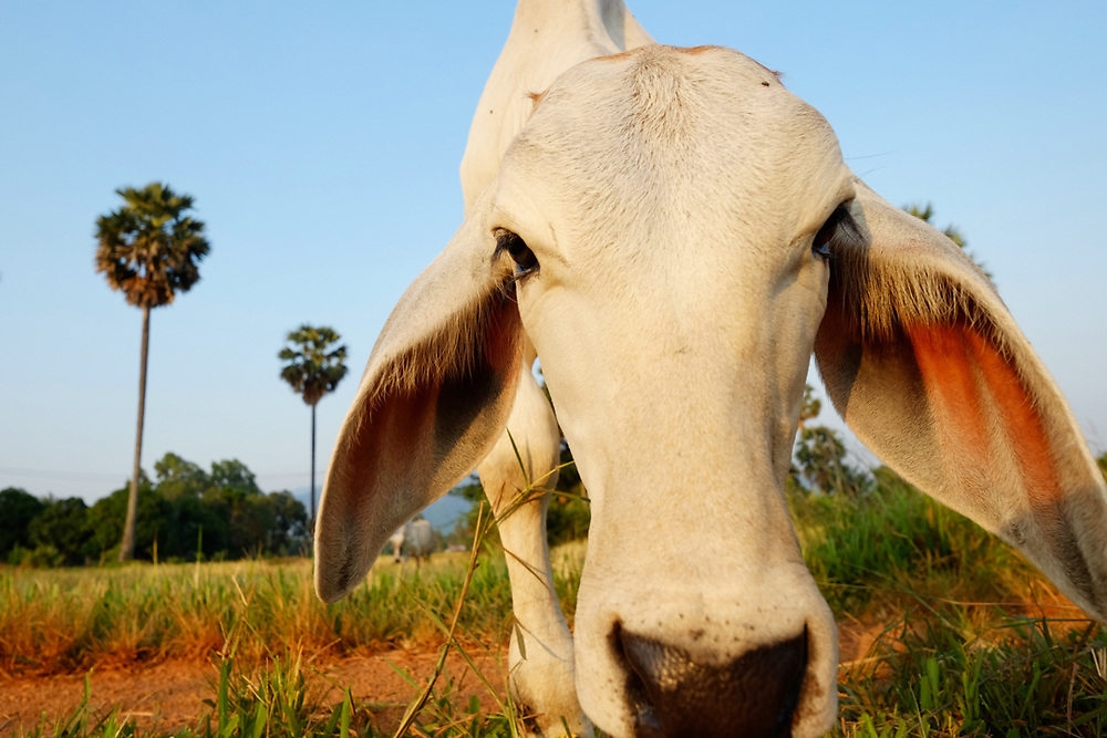 Cow in the Ricefield. Kep province, Cambodia.