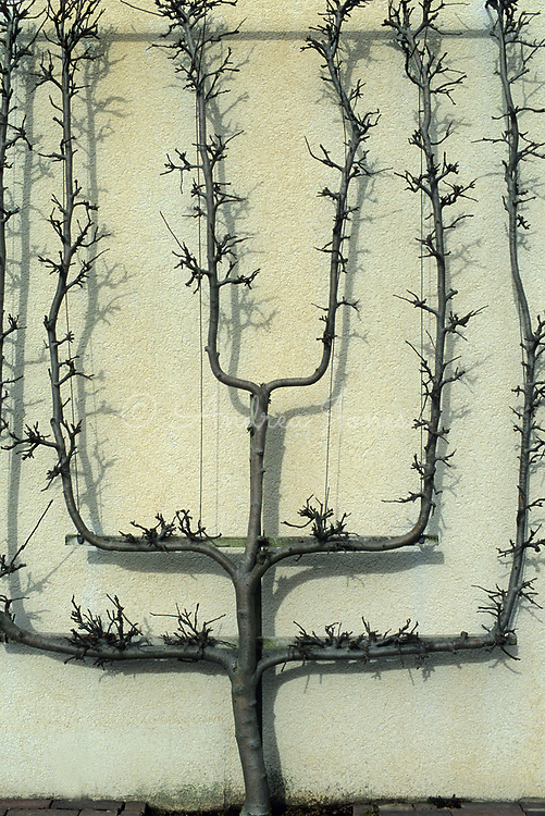 Cordon trained apple  tree