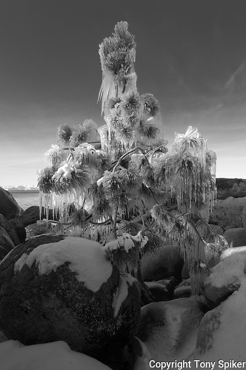 """""""Icy Tree 3"""" - A black and white photograph of icicles hanging from a tree at Sand Harbor, on the Eastern Shore of Lake Tahoe"""