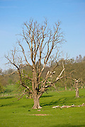 Tree with broken off branches in Stanway, Gloucestershire, United Kingdom