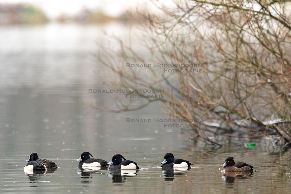 23-01-2019 NED: Birdwatch around your garden, Maarssen<br /> Kuifeend (Aythya fuligula)