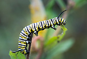 As this Monarch caterpillar was looking for more food, it would reach as far as possible for a new tasty leaf.  Middletown, Delaware