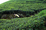 Tea pluckers harvest tea leaves at the one of the fields that is part of the Bogawantalawa Estates near the town of Hatton in central Sri Lanka December 15, 2009.  Pluckers have a target of picking 16 kilograms of the leaves bu on average pick between 25-28 kilograms which will earn them about $5 per day.