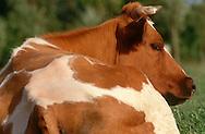 DEU, Deutschland: Hausrind (Bos taurus), Kuh ruht liegend auf der Weide, Rasse: Rotbunte, Norddeutschland | DEU, Germany: Domestic cattle (Bos taurus), cow resting on feedlot, race: Red Holstein, Northern Germany |