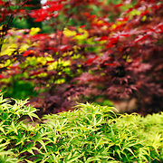 Japanese Maple trees and leaves
