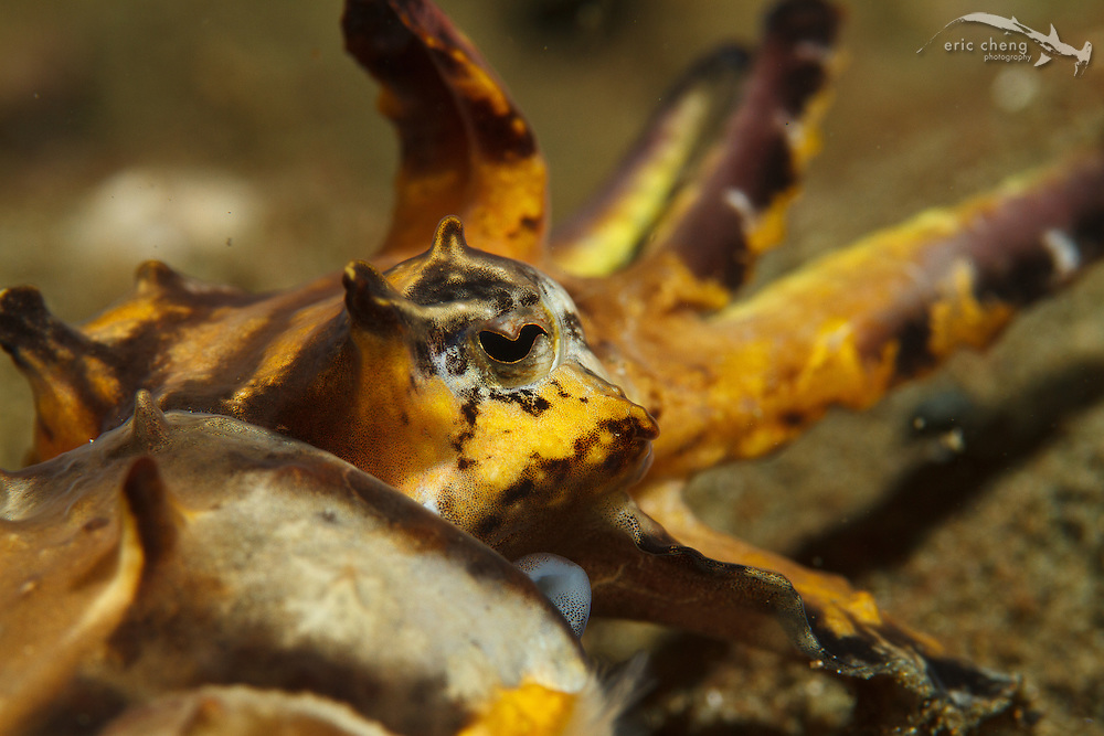 Flamboyant cuttlefish (Metasepia pfefferi), Ambon, Maluku, Indonesia.