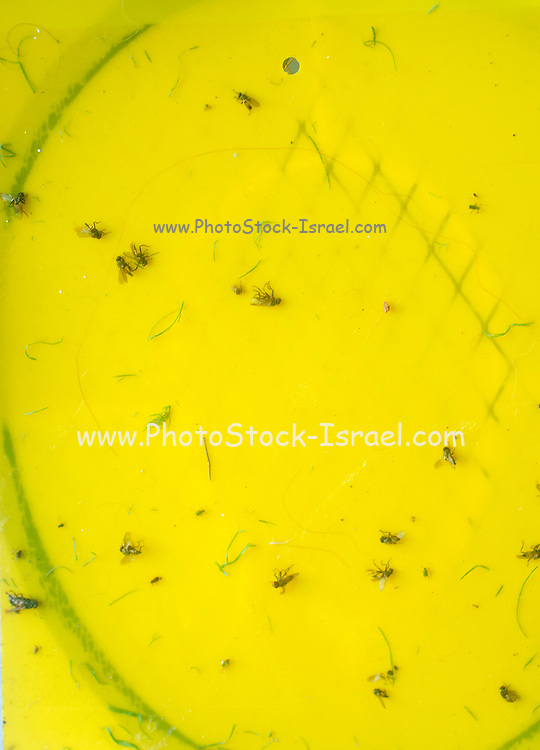 Flies and insects stuck to yellow fly paper. A fly-killing device made of paper coated with a sweetly fragrant, but extremely sticky or poisonous substance that traps flies and other flying insects when they land upon it.