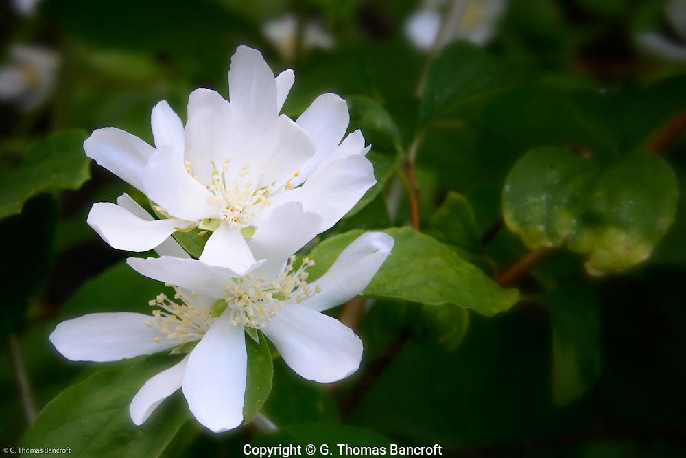 Serviceberry flower.