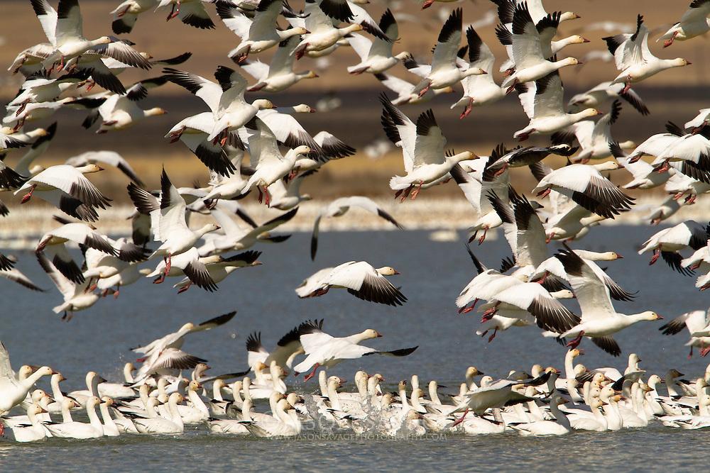 Snow Geese at Freezeout Lake, Montana.
