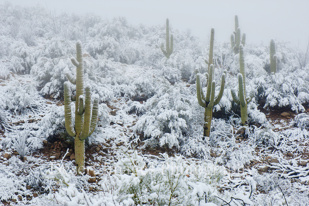 Saguaros in snow, Mammoth, Arizona