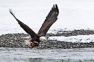 Bald Eagle (Haliaeetus leucocephalus) flying with salmon head in the Chilkat Bald Eagle Preserve in Southeast Alaska. Winter. Morning.