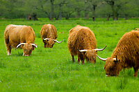 Highland Cattle, Glen Nevis Scotland