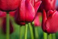 Red tulips in Skagit County, Washington state.
