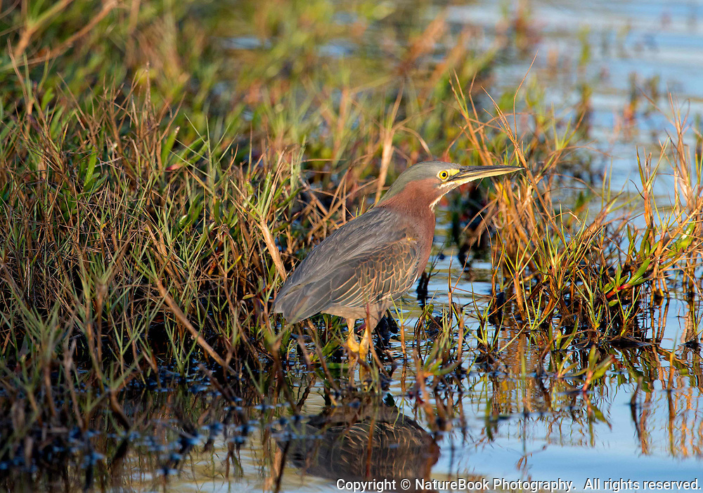 Juvenile Green Heron at Merritt Island National Wildlife Refuge in Florida. Juveniles usually hunt from the shore instead of wading in the water as other herons do.