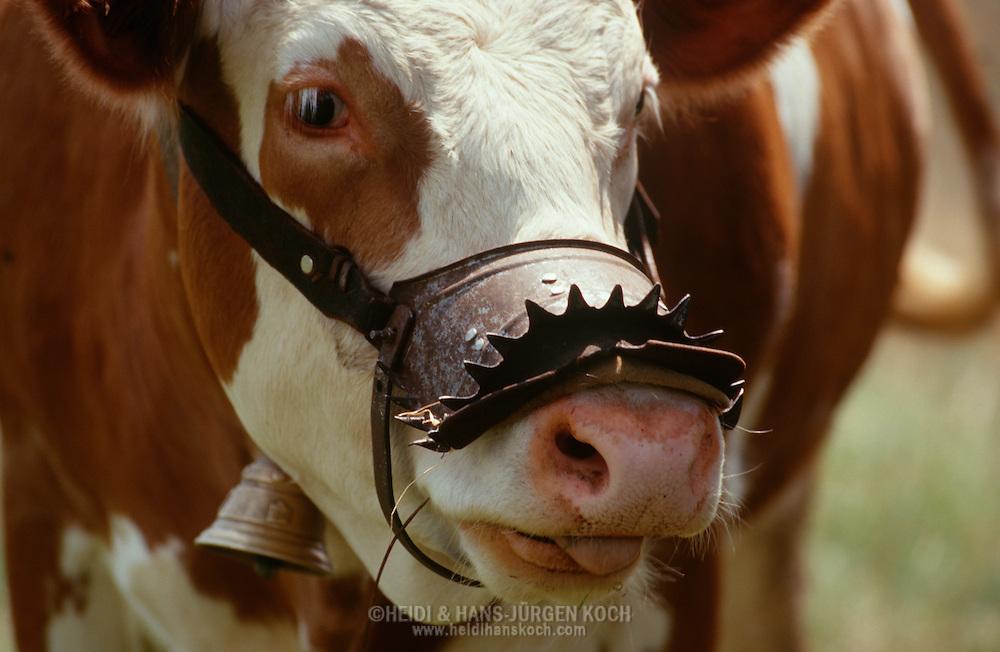 DEU, Deutschland: Hausrind (Bos taurus), Kuh mit Metallgeschirr um das Maul, diese Kuh ist eine Problemkuh, denn sie trinkt bei anderen Kühen die Euter leer, versucht sie bei anderen Kühen zu trinken sticht das stachelige Geschirr in den Euter der Kuh und das Trinken wird nicht geduldet, Rasse: Hinterwälder, Rasse die es nur im Schwarzwald gibt, geländegängig und mit kurzen kräftigen Beinen, Bernau, Schwarzwald, Baden-Württemberg, Süddeutschland | DEU, Germany: Domestic cattle (Bos taurus), cow wearing a metal harness around mouth, this cow its a trouble cow, because it drinking all milk from the other cows, if it try to drink, so spikes contacting the upper and drinking isn?t tolerated, race: Hinterwaelder-cattle, just existing in Black Forest, all-terrain and with short strong legs, Bernau, Black Forest, Baden-Württemberg, Southern Germany |