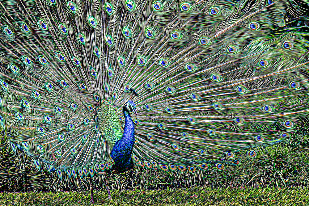 A peacock spreads its colorful tail plumeage in Hawaii