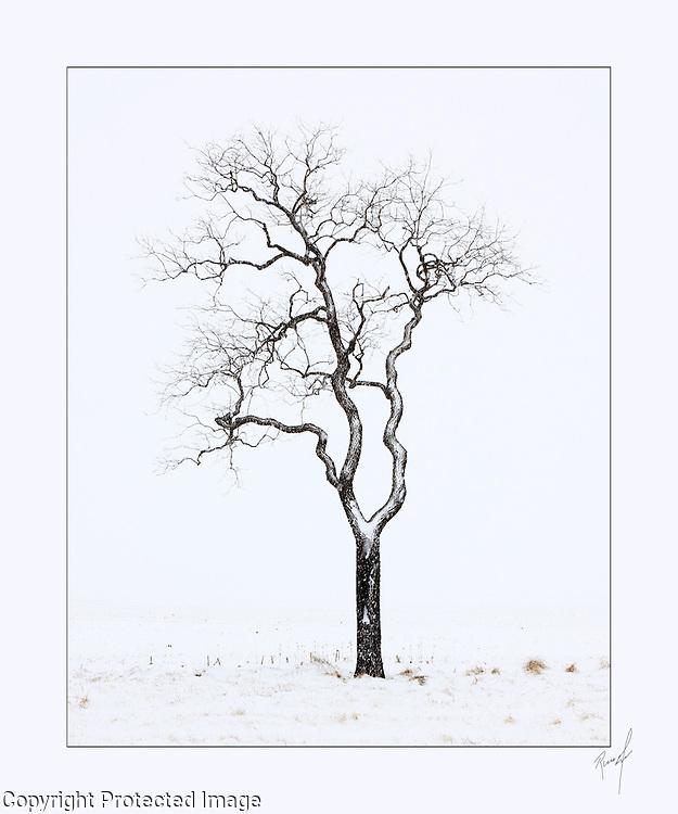 Lone Tree in Winter, Mardela Springs, Maryland