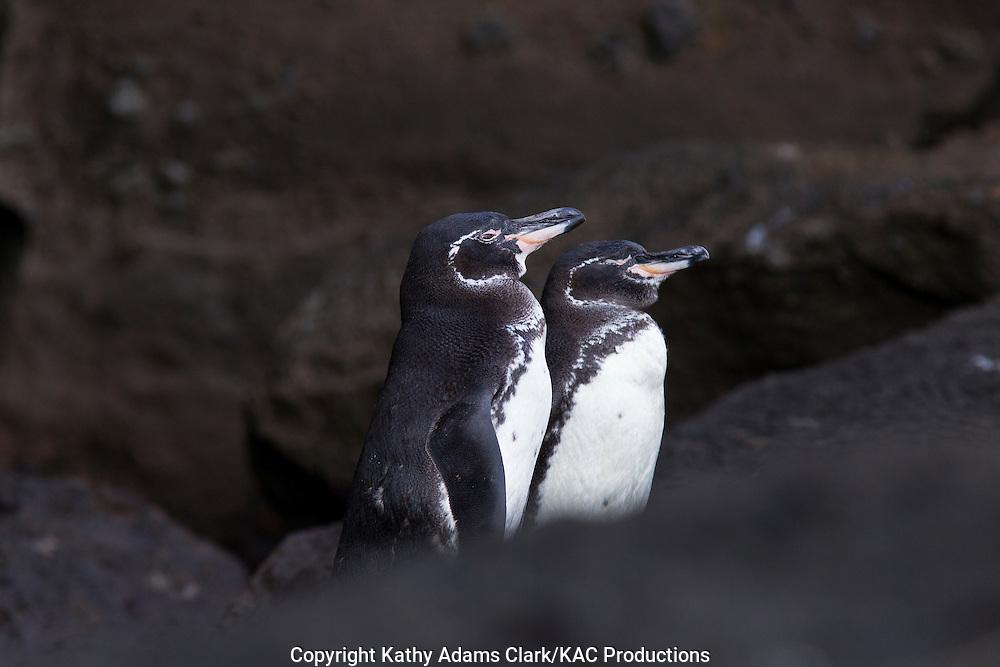 Galapagos penguin, Spheniscus mendiculus, pair, Bartolome Island, Galapagos, Ecuador.