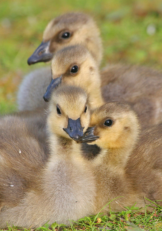 Alaska. Anchorage. Canada Goose (Branta canadensis) Goslings resting. Canada Geese commonly nest along Anchorage's lakes, ponds, parks and golf courses.