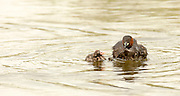 Little grebe (Tachybaptus ruficollis) feeds a young chick. This bird inhabits rivers, lakes and marshland, feeding on insects and other small invertebrates.  Photographed in Israel in June