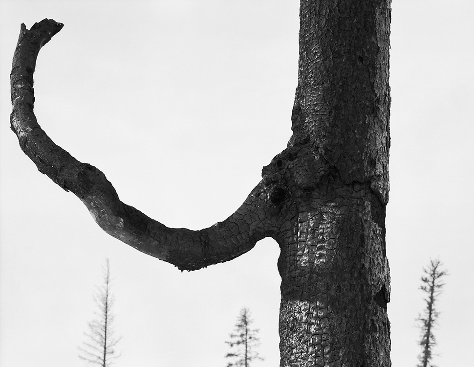 Burned White Spruce