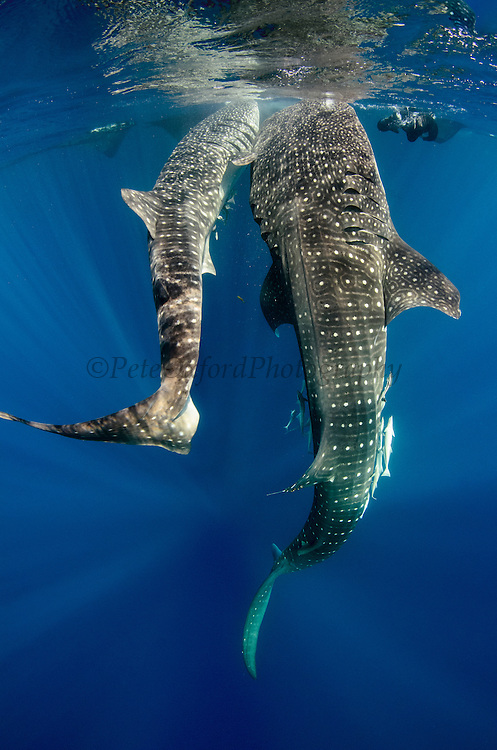 Whale Shark (Rhincodon typus) feeding at Bagan (floating fishing platform)<br /> Cenderawasih Bay<br /> West Papua<br /> Indonesia<br /> Bagan fishermen see whale sharks as good luck and often feed them tidbits of baitfish to honor their luckiness. This is now developing into a tourist attraction