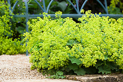 Alchemilla mollis in Mrs Winthrops garden at Hidcote Manor