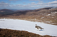 Ptarmigan (Lagopus mutus) in mountain landscape in early spring