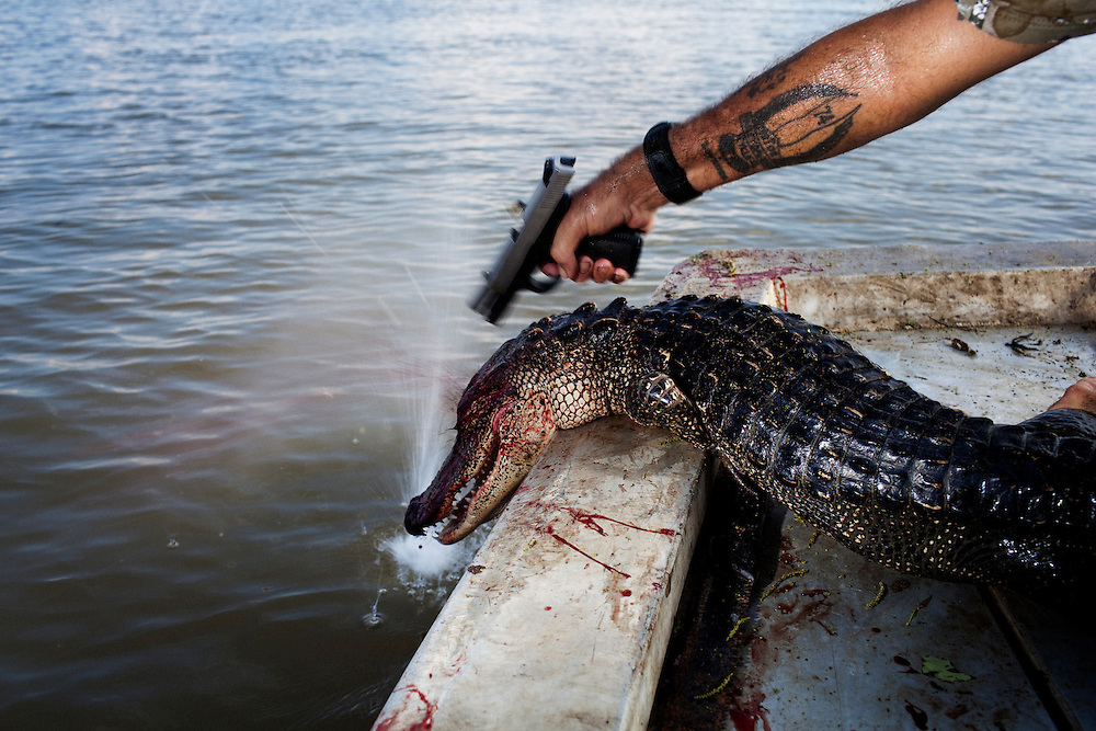 Rebel plants a second bullet in the head of a gator that kept moving after being hauled into the boat while hunting for alligators near Shell Island, Louisiana on September 20, 2009. Each gator is then tagged before being piled in the bottom of the boat.