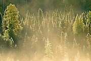 Conifers in morning fog<br /> Worthington<br /> Ontario<br /> Canada