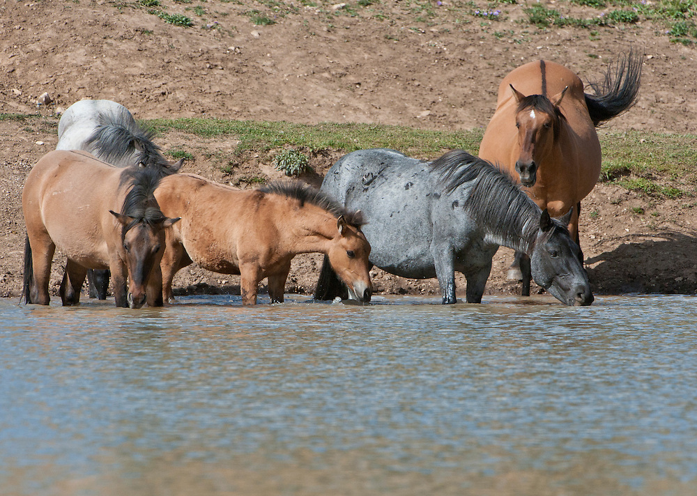 Wild horses cooling off and getting a drink