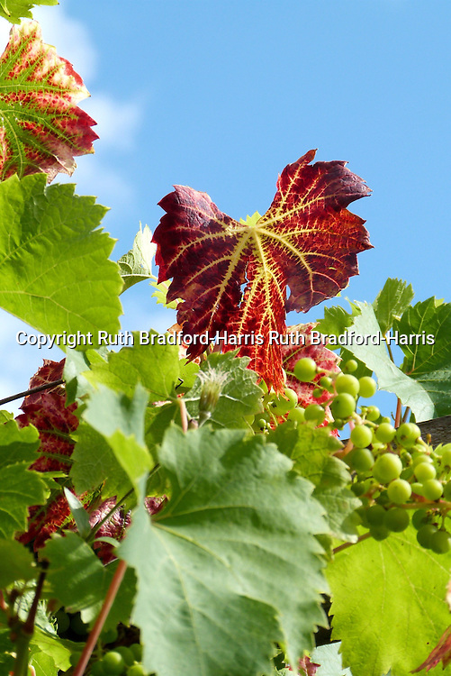 Bunches of immature green grapes hang amidst reddening Autumn foliage on a Vitis vinifera 'Dornfelder' vine. <br /> <br /> This outdoor variety is very productive, bearing a good number of bunches of grapes from an early age. The grapes mature to black and are used commercially in Britain to make a rose wine. If left to fully mature on the vine, the grapes are sweet enough for dessert use too.<br /> <br /> Date taken 22 August 2013.