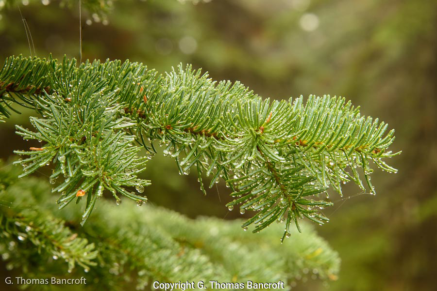 the rain coasted all the vegetation with fascinating droplets.  This subalpine fir glistened in the soft foggy light.