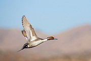 Drake pintail in flight