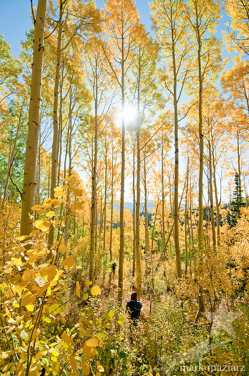 photographers/hikers in large stand of autumn aspen trees above Bonanza Flats, near Park City, Utah.